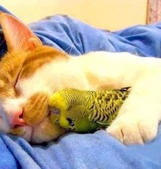 You've heard of the biblical 'Lion and the Lamb lying down together', here we have the cat and the budgie!