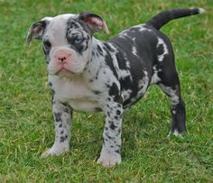 Very Rare Blue Merle Says Old English Bulldog But I Think It Is A