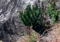 E.Ghellinckii in the wild Living Fossil, Palms, Fossils, Habitats, Trees, Beautiful, Ornamental Plants, Palm Plants, Leaves