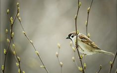 sparrow picture - Full HD Backgrounds, Ceylon Birds 2017-03-22