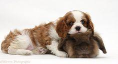 king charles cavalier | WP23640 Blenheim Cavalier King Charles Spaniel pup with Lionhead ...