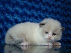 Collin Seal Bicolor Male Ragdoll - Ragdoll Kitten for Sale - from www.RagdollKittens.com