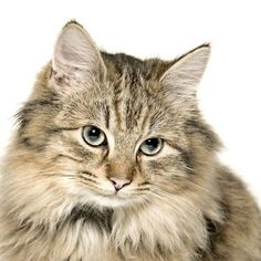 Only if the parents are registered then you canclaim him as apure-bred ... - #tiny - See More Tops Tea Cup Cat Breeds at Catsincare.com!