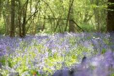 Kids Bluebells Photography Surrey, Blue Flowers, Woodland, Herbs, Plants, Kids, Photography, Young Children, Boys
