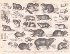 1859 Antique print of different species of Rodents, vintage Rare rat squirrel hamster engraving, oddity samll mammals rabbit beaver gerbil. Animal Plates, Animal Skeletons, Fish Print, Antique Prints, Antique Books, Mammals, Squirrel, Moose Art, Antiques