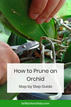 Learning how to prune an orchid is a process not unlike the orchid itself: orchid pruning is subtle, strategic, and sublime when done right. Orchid Plant Care, Orchid Plants, Orchids Garden, Garden Plants, House Plants, Indoor Orchid Care, Orchid Flower Plant, Orchid Leaves, Orchid Roots