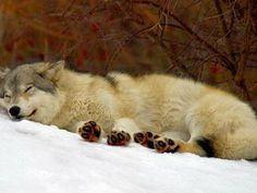 Sleeping wolf Beautiful Wolves, Most Beautiful Animals, Beautiful Creatures, Wolf Spirit, Spirit Animal, Sleeping Wolf, Sleeping Beauty, Of Wolf And Man, Wolf Tail