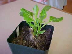 How to take cuttings from your new or favorite dahlia tubers.