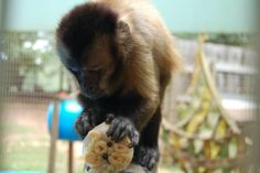 All of our primates love their juicicles made by our fabulous volunteer Rita Whitehouse! Suzy the Capuchin monkey especially enjoyed this fun summer enrichment, which encourages the monkeys' natural foraging behavior. #Primate #Capuchin #NoahsArk #Forage #Enrichment