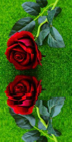 Good Morning Beautiful Flowers, Good Morning Roses, Beautiful Flowers Wallpapers, Beautiful Rose Flowers, Amazing Flowers, Rose Flower Wallpaper, Flowery Wallpaper, Beau Gif, Rosa Rose