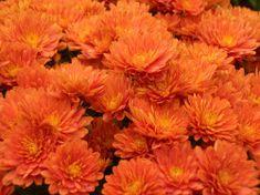 Orange mums...my favorite.  :)