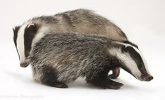 White Background Photograph of Two playful young Badgers (Meles meles). Rights managed white background image. Super Furry Animals, Animals And Pets, Cute Animals, Wild Animals, Pencil Portrait, Portrait Art, Badger Images, Baby Beaver, White Background Images
