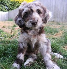 aussiedoodle full grown - Google Search