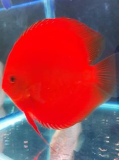 Photo gallery of Discus fish - Live Tropical Fish - Live Tropical Fish Diskus Aquarium, Saltwater Aquarium Fish, Tropical Fish Aquarium, Guppy, Tropical Freshwater Fish, Freshwater Aquarium Fish, Acara Disco, Oscar Fish, Fish Gallery