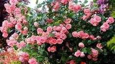 Die Kletterrose Lawinia ist eine der ersten, die blüht, aber auch eine der letzten im Spätherbst, die noch Blüten zeigt. Mittlerweile haben sich knapp 80 Rosensorten in unserem Garten angesiedelt.