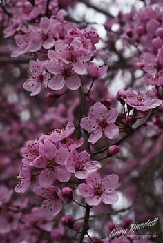 Flowering plum blossoms in Welches, Oregon, April 2009 by Gary Randall via flickr