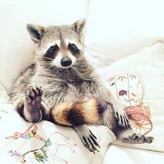 Pumpkin, the Instagram sensation. | The 21 Most Important Raccoons Of 2015