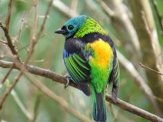 Saíra-Sete-Cores, Tangara seledon, no Plaza Ecoresort Capivari - PR - Brasil. Foto: Fernando Brüggemann #observação de aves, #saíra, #ecoresort, #paraná, #plaza, #capivari