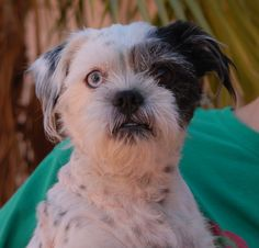 Marvin is an earnest little gentleman hoping you will let him love you. He is a Shih-Tzu & Terrier mix (about 20 pounds), neutered, 6 years of age, great with other dogs, and debuting for adoption today at Nevada SPCA (www.nevadaspca.org). We rescued Marvin from a shelter that asked for our help due to running out of space. Please visit and ask for Marvin by name.