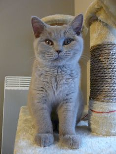 Guizmo my cat british shorthair