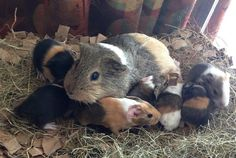 Look at all those piggies. Baby Guinea Pigs, Guinea Pig Care, Wombat, Pig Information, Cute Baby Animals, Animals And Pets, Pig Pics, Cute Piglets, Guinea Pig Bedding