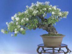Magnolia stellata bonsai tree | Bonsai Empire
