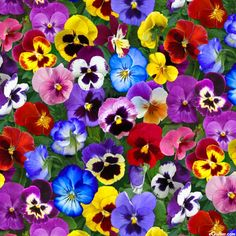 Lovely Pansies - Flower Bed Gems - Multi