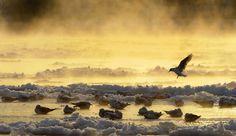 Best nature pictures of 2012 - The Big Picture - Boston.com Birds sat on partly frozen river Elbe in Dresden Germany Matthias Rietschel/dapd via AP