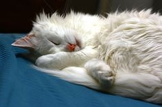 One of the most outgoing and affectionate of all cat breeds, the rare and beautiful Turkish Angora has a fascinating history and is consid. Turkish Angora Cat, Angora Cats, Hd Desktop, Cute Cats And Dogs, Cats And Kittens, Kitty Cats, White Kittens, Flea Shampoo For Cats, All Cat Breeds