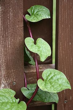 Permaculture Plants: Malabar Spinach - often grown in more Temperate Climates as a heat-loving annual substitute for spinach.