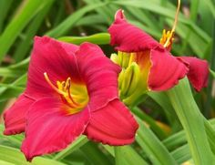 Small Daylily, Hemerocallis 'Woodside Whistle' (Apps, 1997)