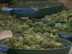 AR: Medical Marijuana Commission Begins Planning