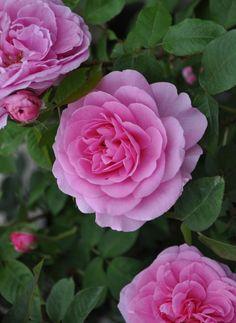 'Gertrude Jekyll' |  Shrub.  English Rose Collection. Production 1986 United Kingdom David Austin