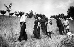 Sciedi di cascia, anni 50. Alcuni contadini sono pronti per la mietitura di un campo di grano in costa.
