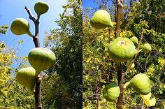 szeretetrehangoltan: Zöld (éretlen) füge fűszeres szirupban Apple, Fruit, Automata, The Fruit, Apples