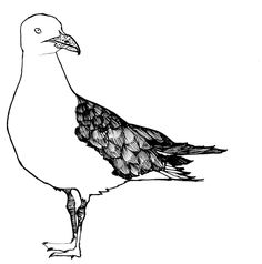 Seagull illustration by Gillian Kyle