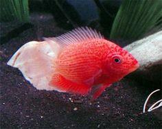 Severum Care | , Red Spotted Severum, (Heros appendiculatus/Heros efasciatus) Care ...