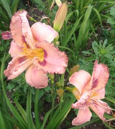 Daylily Total Commitment