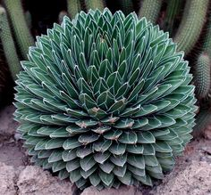 spherical blue agave. I want to touch it, but have to watch out for the 'pokes' on the tips :)