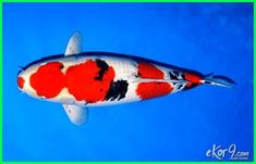 1185f6835c9eacee79ea5870cb9e306c - Jenis Ikan Koi Termahal Di Dunia