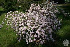 deutzia rosalind   Deutzia elegantissima 'Rosealind' - Shrub - whole plant - Late Spring ...