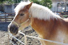 "Haflinger ""Brezel"" in Yoyogi pony park"