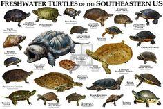 Common Snapping Turtle, Alligator Snapping Turtle, Turtle Aquarium, Turtle Pond, Pond Animals, Rare Animals, Chelydra Serpentina, Musk Turtle, Animals