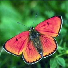 Peach Moth