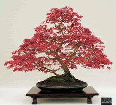 bonsi1 Bonsai Plants, Bonsai Trees, Japanese Maple, Garden Trees, Beautiful Images, Terrarium, Dandelion, Home And Garden, Kisses