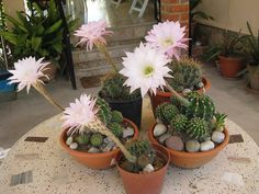 Watering and Fertilizing your Indoor Garden Plants Indoor Garden, Garden Plants, Indoor Plants, Cactus Blossoms, Cactus Flower, Cacti And Succulents, Planting Succulents, Cactus Print, Interior Plants