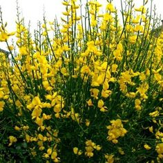 Sweet Broom Plant Care Hanging Garden Broom Plant