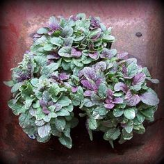 I think i will dig some of mine out of the woods next year to use in containers. Burgundy Glow Carpet Bugle (Ajuga reptans) care and supplier information