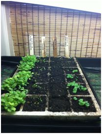 Start Your Vegetable Seeds Indoors with the Right Soil, Fertilizer, Moisture,Temperature & Sunlight.