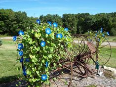 An old hay rake with morning glories in my front yard last summer.